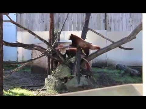 Red Pandas Hanging Out at Sequoia Park Zoo