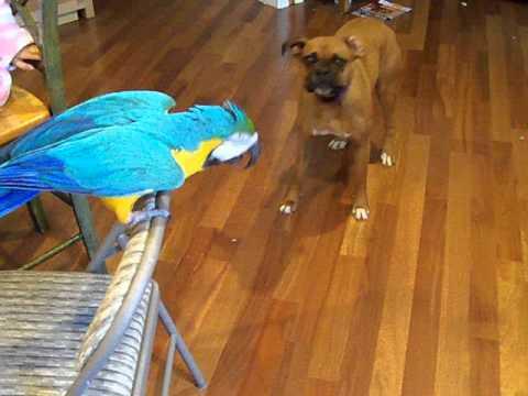 Macaw tells Boxer 'don't bite'!