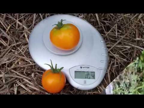 """Сорт томата """"Хурма"""""""