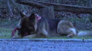 Fox News College Challenge Entry- North Carolina German Shepherd Rescue
