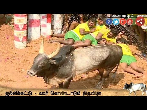 Live: Madurai Avaniyapuram Jallikattu continues with enthusiasm - Exclusive Visual 4