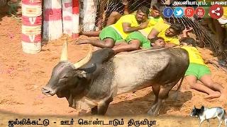 Exclusive Visual: Madurai Avaniyapuram Jallikattu Continues with Enthusiasm