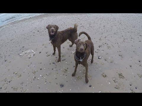 Chesapeake Bay Retriever - High Island Beach - EP 27