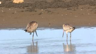 斑尾鷸 Bar-tailed godwit