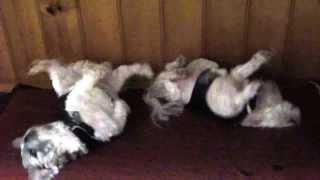 Shih Tzu Maltese Funny Dance , Mega Wiggle