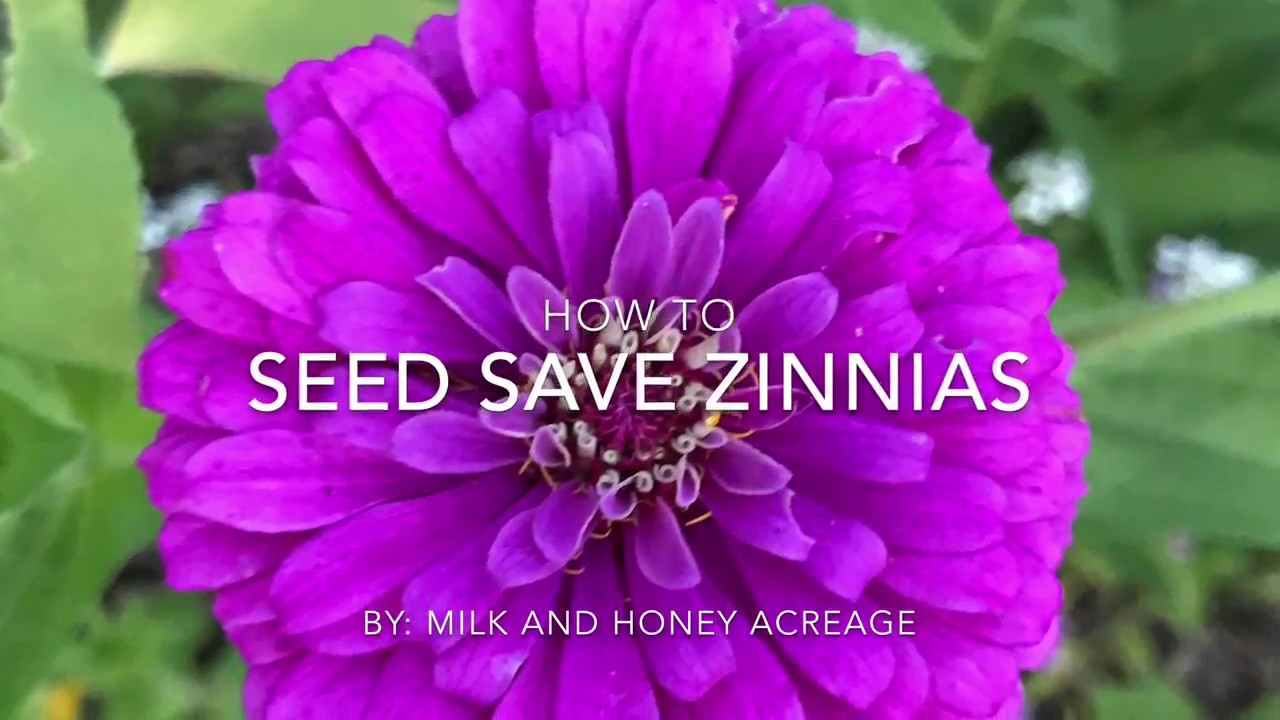 How To Save Zinnia Seeds Youtube