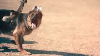 West German Showline Chases A Toy Squirrel | The Daily Puppy