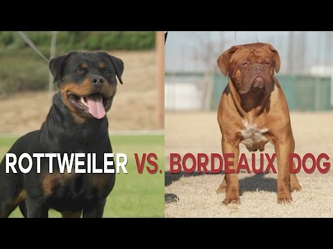 ROTTWEILER VS. DOGUE DE BORDEAUX:  HEAVYWEIGHT DOG BATTLE