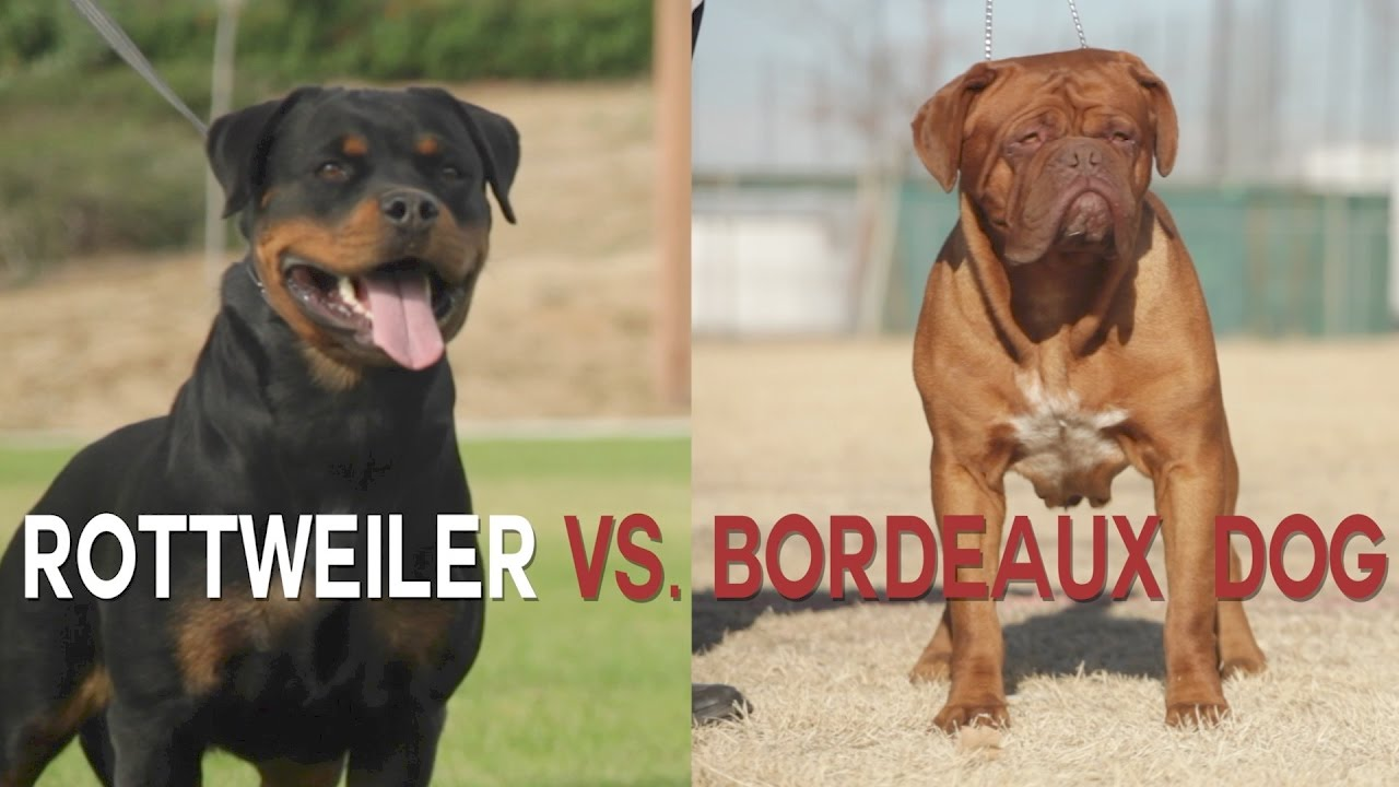 Rottweiler Vs Dogue De Bordeaux Heavyweight Dog Battle Youtube