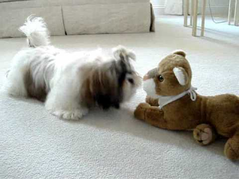 Shih Tzu Puppy Lacey Discovers Stuffed Toy Lion For The First
