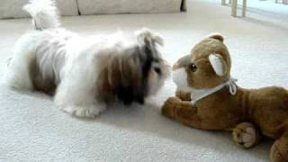 Shih Tzu puppy Lacey discovers stuffed toy lion for the first time