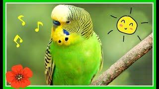 Красивое пение попугая//Волнистый попугай поет//Пение птиц//Говорящий попугай