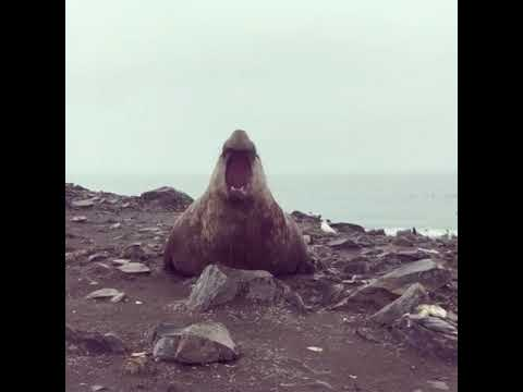 The Woody Show - This Elephant Seal Can Out-Burp Anyone