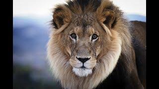 Lew - Lew Morski - Wyjec Rudy - Goryl / Lion - Sea Lion - Howler Rudy - Gorilla