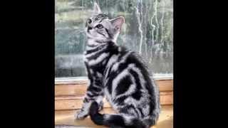 Американская короткошерстная кошка (American shorthair cat) породы кошек( Slide show)!