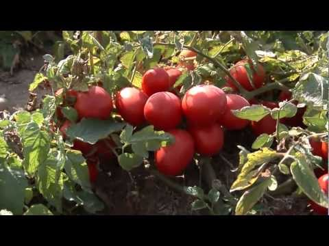 Tomato Farms of Red Gold