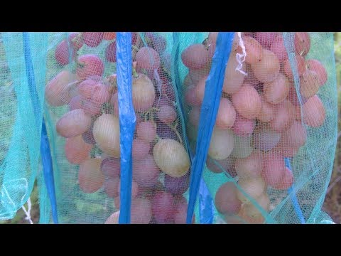 Защищаем грозди винограда от ос и притеняем от солнца.