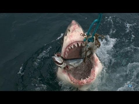 Most Aggressive Sharks on Earth | Great White Serial Killer - Shark Week 2013