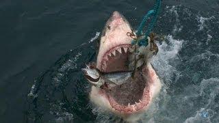 Most Aggressive Sharks on Earth | Great White Serial Killer - Shark Week 2013