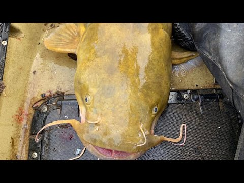 Anchoring With Cut Bait For Blue And Flathead Catfish