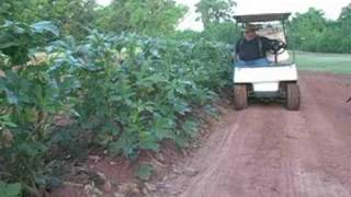 Vegetable Garden -- Picking Okra the easy way