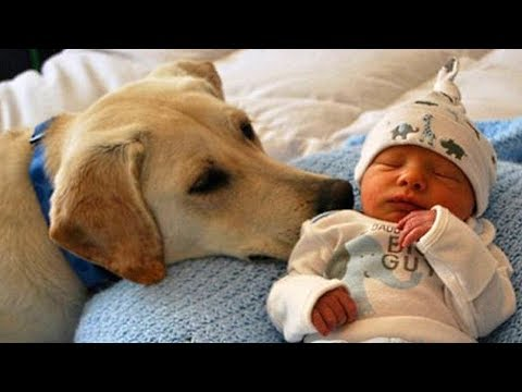 Labrador Retriever Dog and Baby Compilation