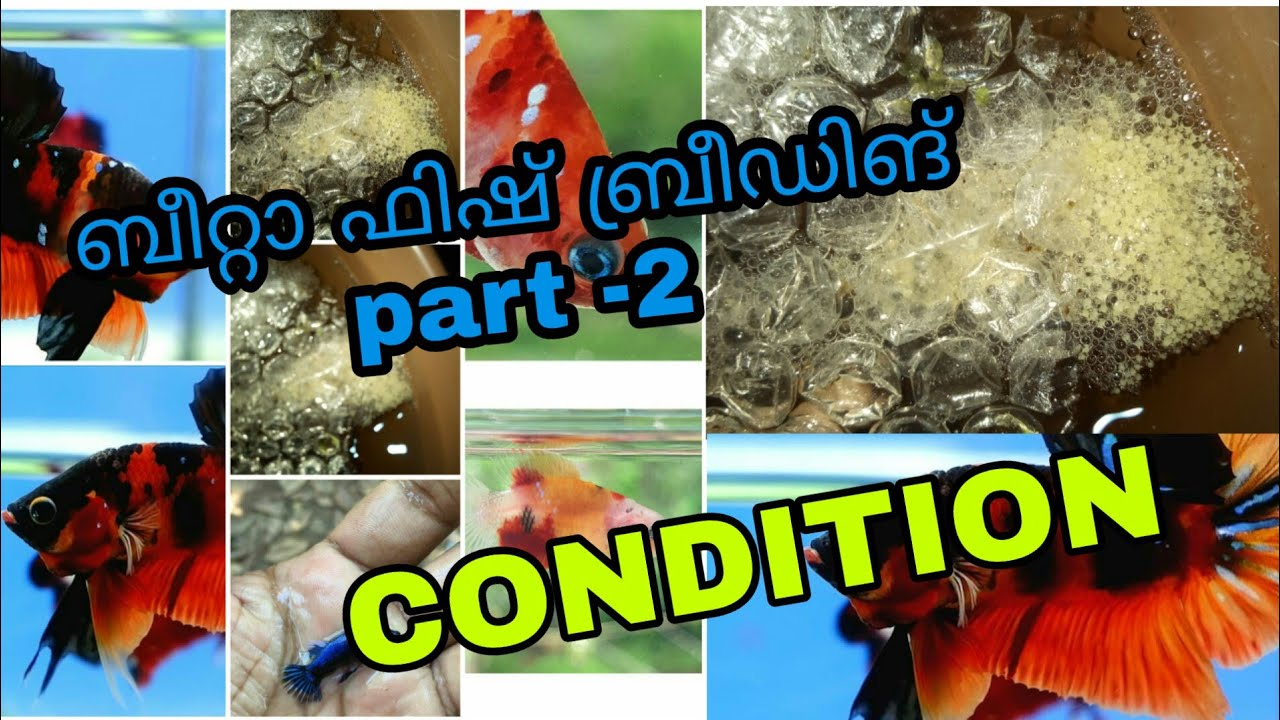 ബീറ്റാ ബ്രീഡിങ് part -2 |betta fish breeding malayalam |Condition method |bettafish fries food care