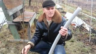 выращивание хурмы, ошибки укрытия саженцев / Cultivation of persimmon, Error shelter seedlings