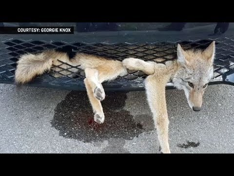 Coyote survives getting stuck in front of vehicle in Alberta