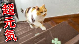 階段を元気に走り回る三毛猫のまりも