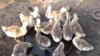 Кормление гусей .мои гуси в месячном возрасте.Feeding the geese .moi geese in the months of age.