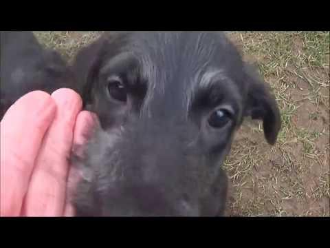 Scottish Deerhound Welpen/Puppies