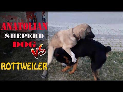 KangalTV ÇOBAN KÖPEĞİ AFRiN vs ROTTWEİLER ve ÇİN ASLANI - SHEPHERD DOG vs RoTTWEiLER and CHOW