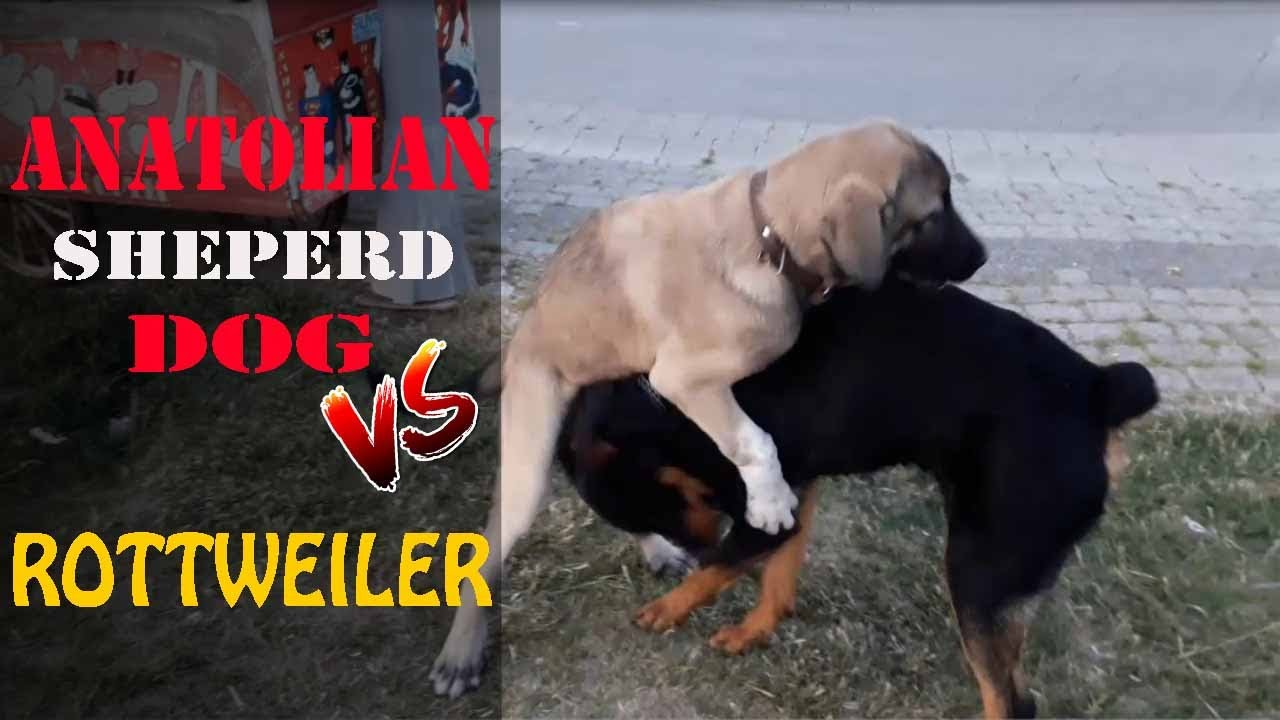 KangalTV ÇOBAN KÖPEĞİ AFRiN vs ROTTWEİLER ve ÇİN ASLANI - SHEPHERD DOG vs RoTTWEiLER and CHOW