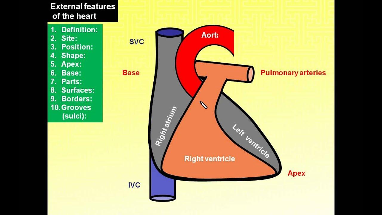 Magdy Saidanatomy Seriesthorax 12middle Mediastinum