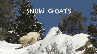 SNOW GOATS  HD  (rocky mountain goats)