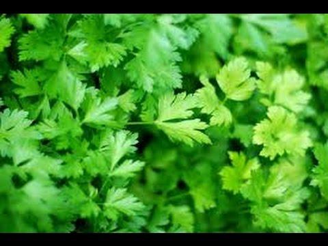 Пищевая ценность петрушки,какие витамины содержатся в петрушке