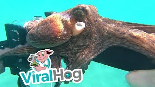 Small Octopus Suctions to Selfie Stick || ViralHog