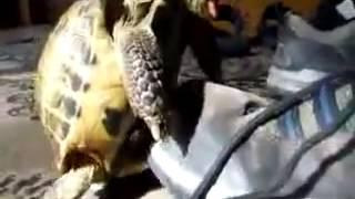 Секс черепаха и красовка