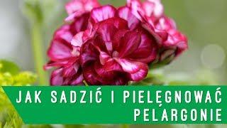 Jak sadzić i pielęgnować pelargonie - Niech żyje ogród!