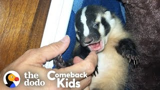 World's Most Adorable Badger | The Dodo Comeback Kids