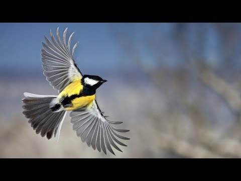 """Learning English Grade 7   """"His First Flight"""" by Liam O'Flaherty"""