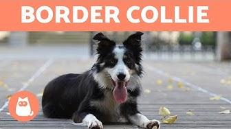 Border Collie - 10 Fakten, die du noch nicht kanntest