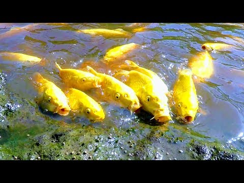 KOI ARE GROWING FAST IN NATURAL MUD POND | HOT SUMMER FOR YAMABUKI OGON FISH | CTLG