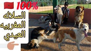 السلالة المغربية كلاب أيدي اجيوا تعرفو عليهم
