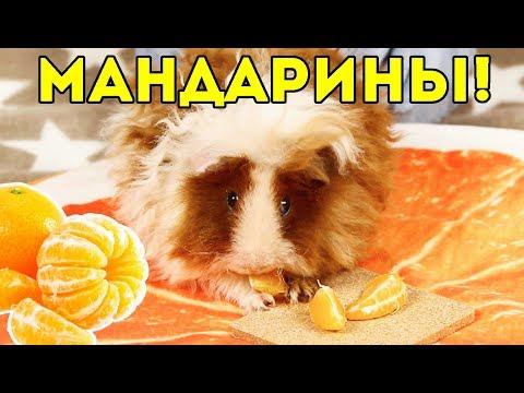МОРСКИЕ СВИНКИ И МАНДАРИНЫ / SvinkiShow