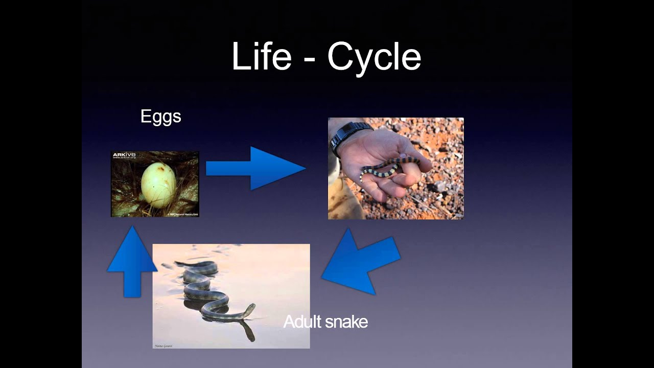 bird life cycle diagram relay wiring 4 pin of a snake pictures to on pinterest thepinsta