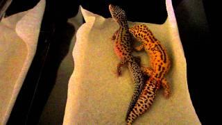 Leopard Geckos Mating - Copulation - Radar and Mack Snow Eclipse het Radar