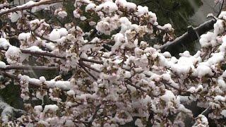 Chutes de neige inhabituelles pendant la saison des cerisiers en fleurs à Tokyo | AFP