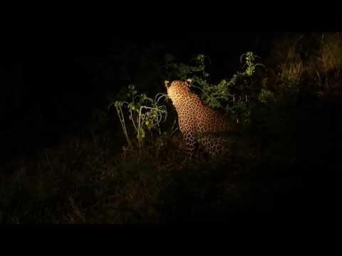 P3295745   Luipaard in het donker South Luangwa NP